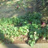 埼玉営業所の花壇でサツマイモを栽培しました。